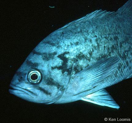 blue_rockfish_loomis