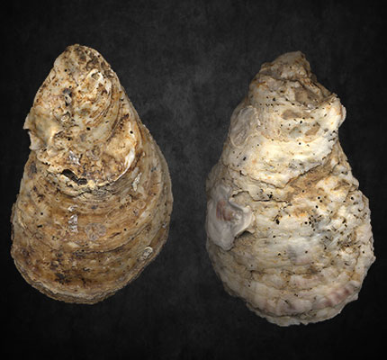eastern_oysters