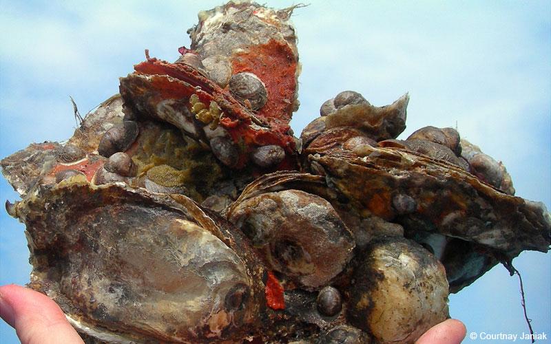 eastern_oysters_janiak