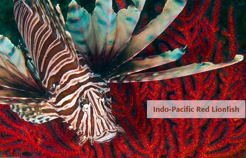 indo-pacific-red-lionfish
