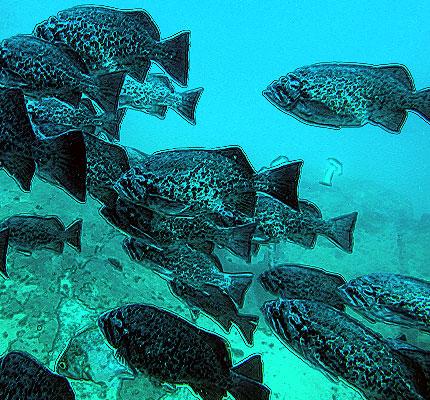 blue_rockfish_population