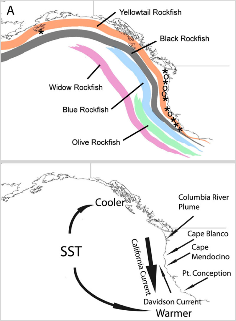 Map of the approximate distribution of all 5 species of the Sebastosomus group. * indicated samples collected  indicates locations that we are targeting for samples. Lower map shows some of the environmental features that change along this region of overlap including sea surface temperature (SST), upwelling index, and dispersal barriers (indicated by arrows).
